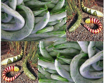 SNAKE GOURD Gourd seeds ~ EDIBLE Decor and Up To 6 Feet Long - 120 Days