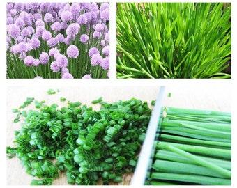 Chives 250 seeds Allium schoenoprasum * Grow your own herb * ez grow *#1E54#