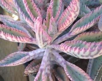 Succulent plant, Kalanchoe Pink Butterflies