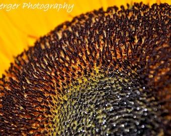 Macro Sunflower Photo