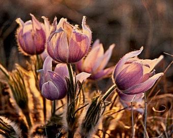 Praire Crocus print in alberta, Flower, Wildflower, Nature, purple, photography