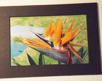 "Bird of Paradise Photo, Matted Print Island Flowers, Hawaiin Island Bird of Paradise, Flower Picture, 4"" X 6"" Photo, 5"" X 7"" Matt Board"