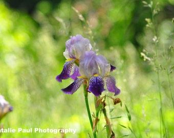 Wild Iris in Cades Cove