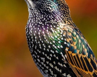 Starling Fine Art photography,Bird, nature, image download, Home decor, Printable Downloads, Instant Download, Jpeg.