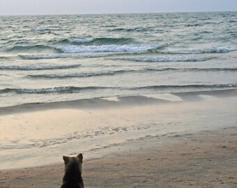 Husky enjoying the beach.