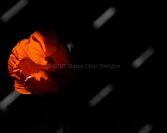 Red Poppy, Wall Art, Flowers, Poppies, Red, Oriental Poppy,