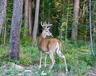 Majestic Buck, Deer of the Woods, Antlers of Beauty, Forest Animal, Photograph or Greeting card