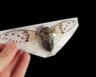 OVERSTOCK: spread Ayuthia spectabile real Cicadas