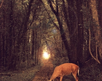 Something Peculiar in The Road, Nature Photography, DEER on a Canopied FOREST Path, Rustic WOODLAND Animals, Irish Landscape, Woodsy Ireland