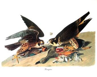 Audubon Bird Print - Peregrine - Vintage Print 1979 Wall Art - 8.75 x 11
