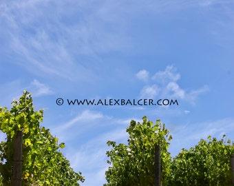 Photograph Print - Vine to the Sky, Napa Valley California - sonoma county winery vineyard vino grapes pinot cabernet chardonnay merlot