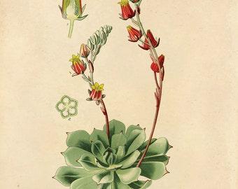 Succulent Blossom Botanical Reproduction Print. Vintage Desert Flowering Plant. Chart Educational Plate Cactus Desert Plant Poster - CP208