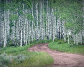 Dirt Roadway through a Birch Tree Grove in Wyoming No. 0667 - A Landscape Photograph