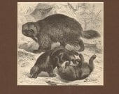1892 Antique Matted Engraving of Wolverines