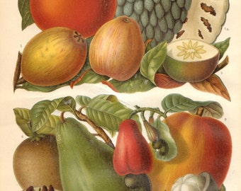 1904 Tropical Fruits, Sugar Apple, Japanese Persimmon, Guajave, Malaysian Apple, Star Apple, Naseberry, Cashew, Mango Antique Lithograph