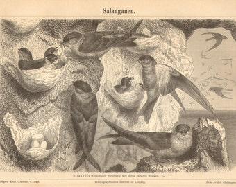 1890 Glossy Swiftlets, Collocallia esculenta Original Antique Engraving to Frame