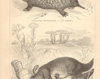1890 Monotremes, Short-beaked Echidna and Platypus Original Antique Engraving