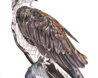 Osprey Watercolor painting Print of watercolor painting A4 size, bird art, wall art, home decor