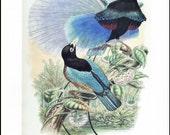 "Blue Bird of Paradise Print ""Courtship Display"" Blue Home Decor, Vintage Bird Wall Art No. 171"