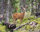 Mule Deer in morning light brown and green wall art, Yellowstone Park wildlife photography