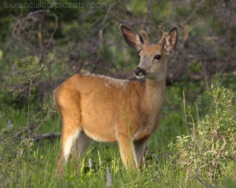 Deer at sunrise, young buck in Yellowstone National Park, golden brown woodland decor wildlife photography