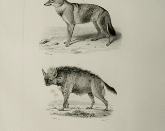1849 Antique print of a WOLF and a HYENA. Wolfs. Hyenas. 165 years old lithograph.