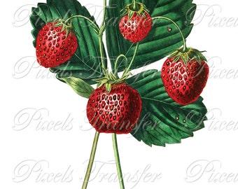 STRAWBERRIES Instant download Digital Downloads, fruits botanical illustration, red wedding clipart 317