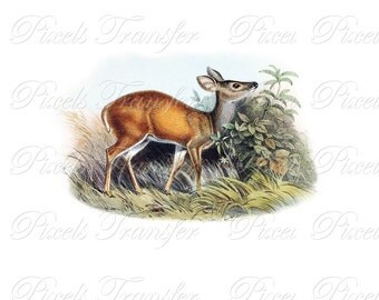 DEER Instant Download, natural history illustration, for framing, dyi print, animal clipart, image no.341