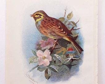 Cirl Bunting Bird Picture, Antique Bird Print, Vintage Bird Illustration, Swaysland, Familiar Wild Birds