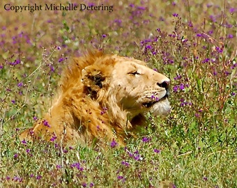 Lion with Flowers - Digital Photography, Lion, Safari Art,  Wildlife Photography, African Animal Art, Nature, Cat, Lion Decor, Lion Love