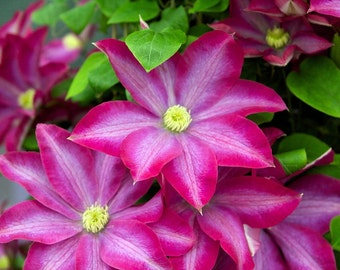 """Pink Champagne Clematis - Deep Pink/Light Mauve/Yellow Anthers - 2.5"""" Pot"""