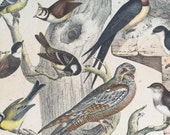vintage school chart, natural history print - birds