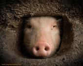 Pig Photo, PRINT - Animal Photography, nature photography, adorable, cute pig, wall decor, fine art photography, piglet, animal photo