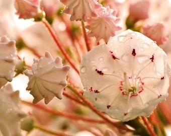 Wet Mountain Laurel Closeup Photograph, Fine Art Print, Flower Photography, Nature, Flower Art, Wall Art, Shell Pink