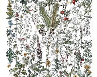 antique french medicinal plants botanical illustration digital download