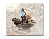 8 x 8 nature photo blue butterflies pair of blue morphis butterfly wings costa rica photography