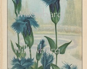 Gentian Crinita. 1926 country cottage garden old fashioned botanical color lithograph print