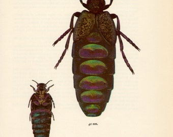 1964 Speckled Oil Beetle Meloe variegatus Vintage Bug Print Insect Illustration Meloidae Entomology Beetle Print Insect Print