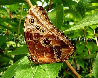 Nursery Decor, Brown Eyes Spots Multi-color Morpho Butterfly Green Nature, Fine Art Photography matted & signed 5x7 Original Photograph