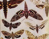 Coctius Pseudospinx Herse Moths Entomology Natural History Rotogravure Vintage Chart 1907 Edwardian Illustration VI
