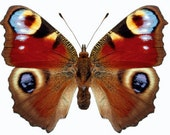 Peacock Butterfly, Inachis io, spread for your project or laminated