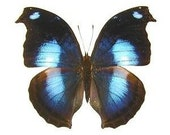 """Real Napocles jucunda """"Blue Hookwing"""" Butterfly, spread for your project or laminated or unmounted"""