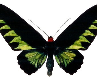 Rajah's Green Birdwing Butterfly, spread for your project or laminated or unmounted
