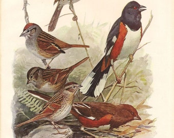 Song Sparrow Vintage Color Book Plate 84 / Birds Of America 1936 / Louis Agassiz Fuertes