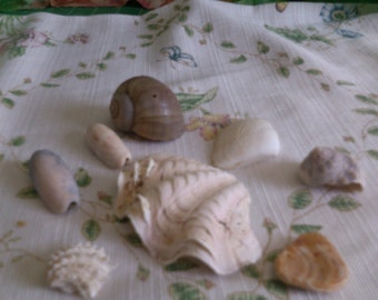 Large Clam Shell and 6 other Shells 1 Chi-piece