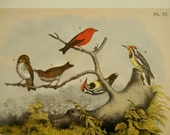 Vintage Woodcock Bird Print from Studer's Birds by Theodore Jasper, Scarlet Tanager,  Woodpecker, wall art print