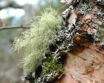 100% Wild Crafted Usnea Tincture Extract