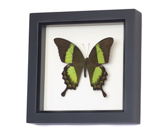 Real Framed Butterfly Shadowbox Emerald Swallowtail