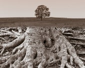 Tree of Life, 11 X 14-inch photograph of large roots as they morph into a single tree in a field