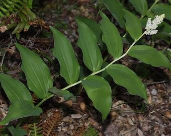 12 King Solomon's-seal (Maianthemum racemosum